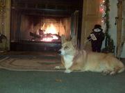 Fireside Corgi!