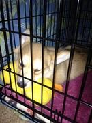 Duck_pillow_033012