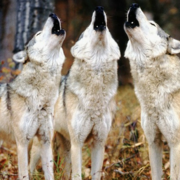 Wild Women and Wolves: Six-Week Series
