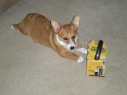 Lucy chewing on my kettlebell box
