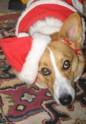 Wally in his Santa Paws suit!