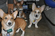The corgis during vacation October 2009