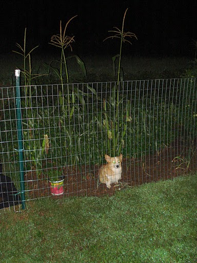 Caught in the garden...couldn't figure out how to get out!