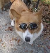 Too Cool Corgi!