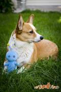 Corgi and her Pupu