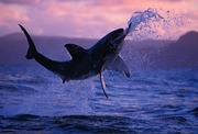 Great White jumping