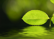 shgreenleafreflection
