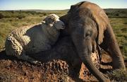 sheep and elephant