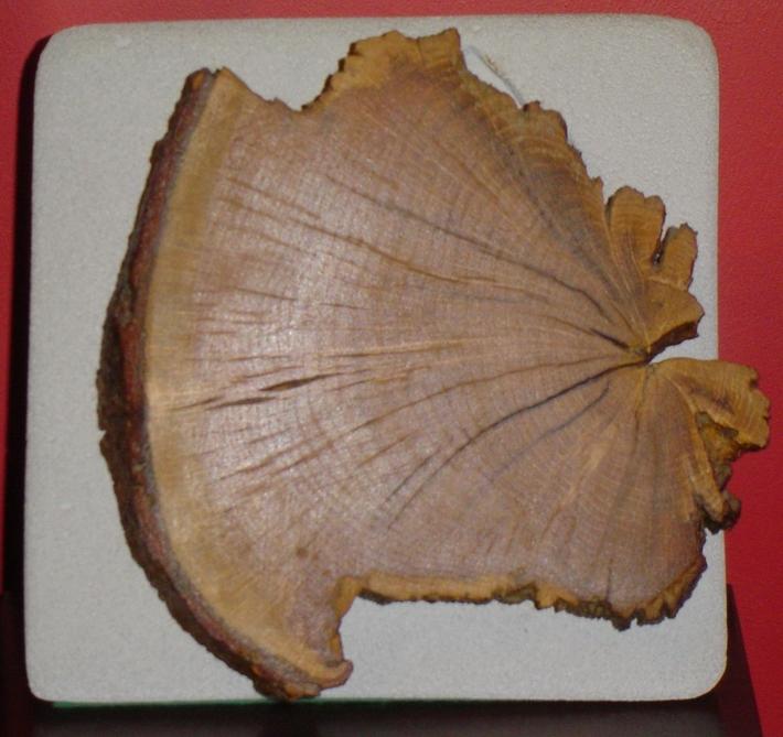 Alfred Wegener's pangea