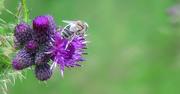 abeille noire de Ouessant
