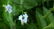 fleurs de Juin à Ouessant