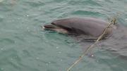Randy, le dauphin se gratouille aux cordages, Ouessant
