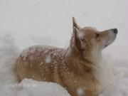 Snow Lovin' Corgis
