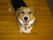 Crazy But Loved Corgis Who Sometimes Get On Our Nerves