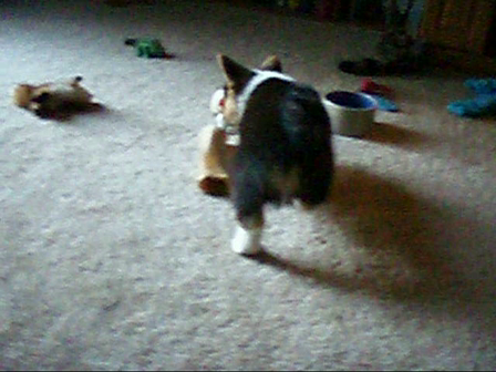 Basil plays with squeaky toy
