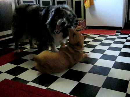 Wookie playing with Chloe