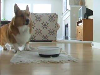 My favorite Corgi video of all time!