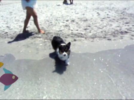 Corgis At the Beach!!