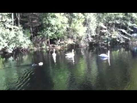 Paco swimming with swans