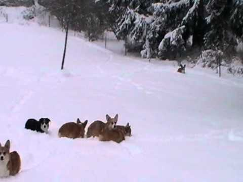 Corgis Frapping In The Snow 2011