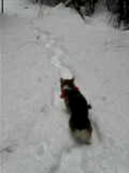 SnowshoeCorgi001