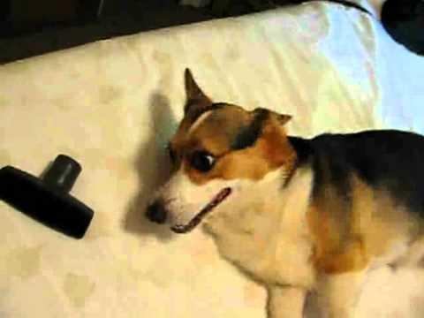 Vacuuming a corgi