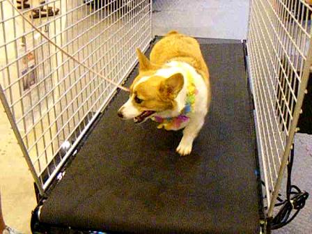 Daisy on the treadmill at dog show!
