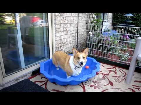 Corgis Jake & Sally enjoy some fun by the pool with Coco 31May11.MOV