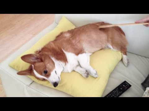 Corgi and the Back Scratcher