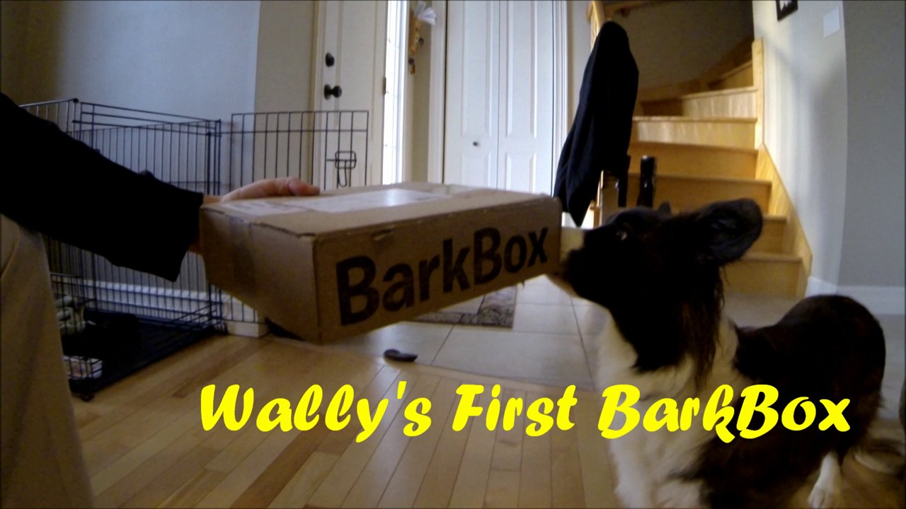 Wally Corgi - first Barkbox