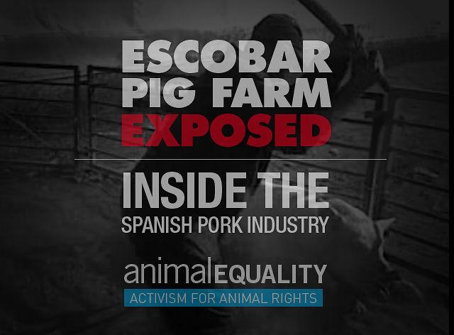 El Escobar Farm | Inside the Spanish pig industry - Animal Equality