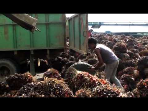 The Sustainability Lie ~ How the Palm Oil Industry is Deceiving The World