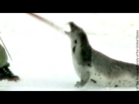 Canadian Seal Slaughter Footage Is So Graphic We Had to Blur It