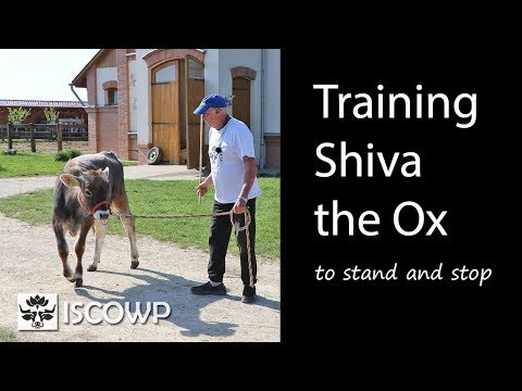 Teaching Shiva the Ox to Stand and Stop