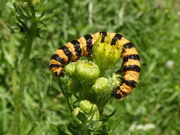 A Cinnabar Moth larva in the meadow this afternoon