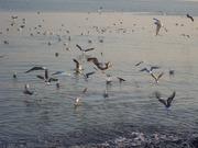 Чайки Чёрного моря