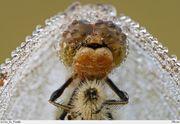 стрекоза невеста