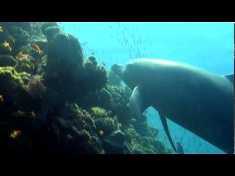 Дельфины в Коралловом Рифе Египет-2