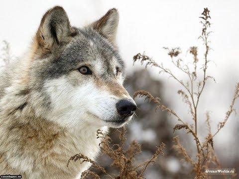 БГ Волки и вороны