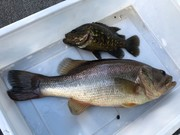 Three Pound Bass and Warmouth Comparison..........