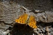 Μια κεφαλλονίτισσα πεταλούδα...