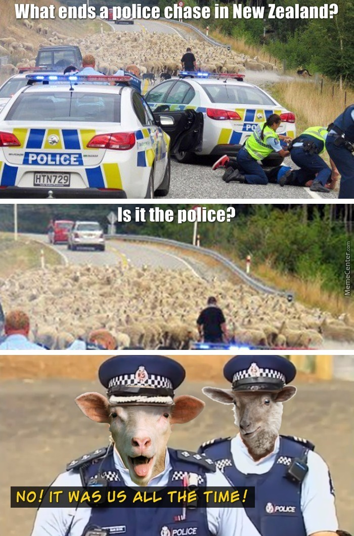 pigs upgrading to sheep lol