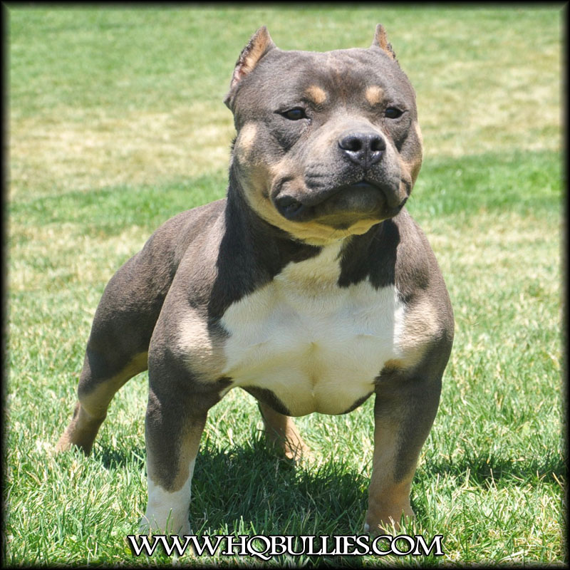 doom-tri-color-bully-pitbull - Bully Breed Photos - This Is