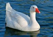 White Goose, Encanto Park