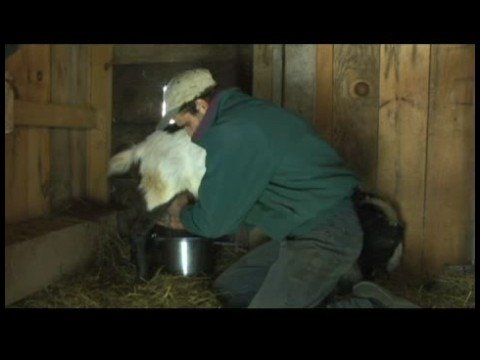 Raising Dairy Goats : How to Milk a Dairy Goat