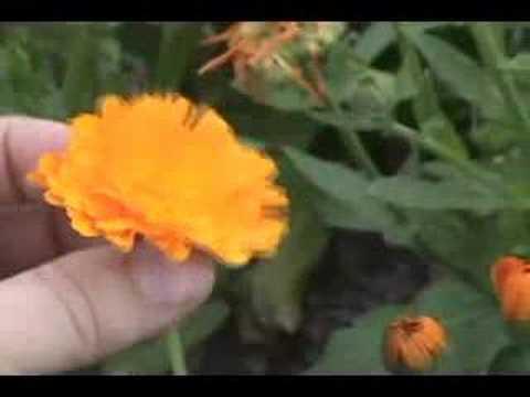 Calendula: A healing herb