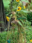 8_17_19 goldfinches on sunflowers outside my door