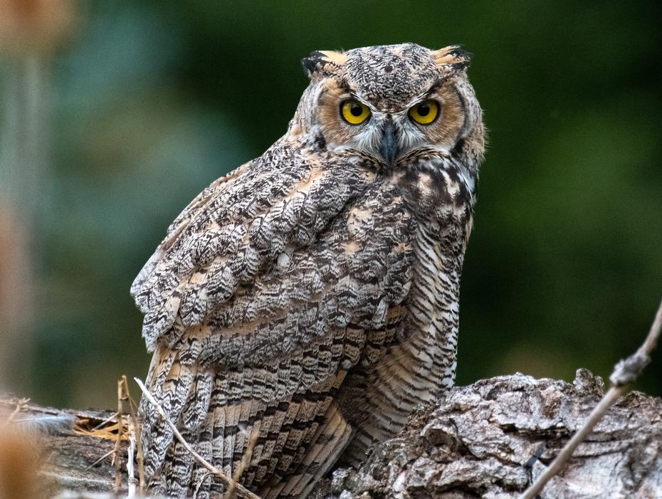 Owl on dead Cottonwood 1