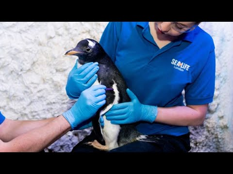 London aquarium to raise 'genderless' baby penguin