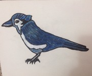 my newest bluejay painting